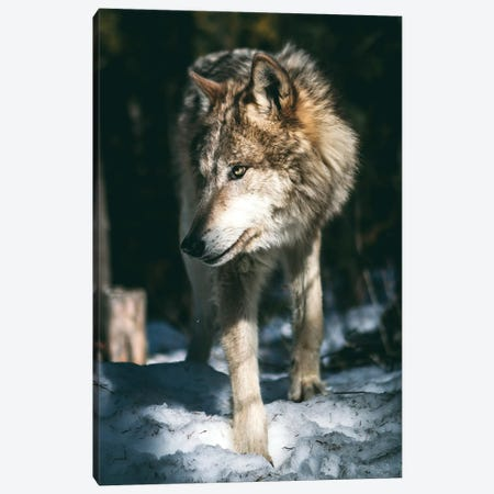 Wolf Looking Canvas Print #AKM326} by Nikita Abakumov Canvas Artwork