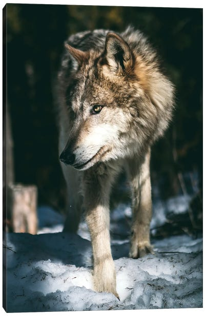 Wolf Looking Canvas Art Print