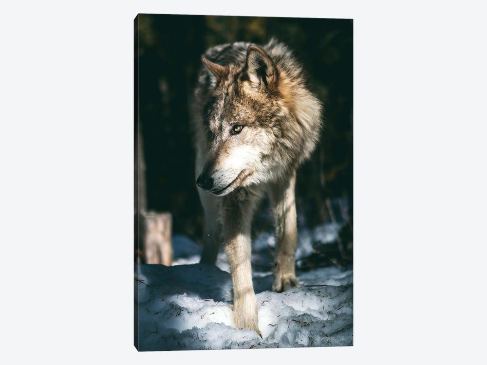 Wolf Looking by Nikita Abakumov 1-piece Canvas Print