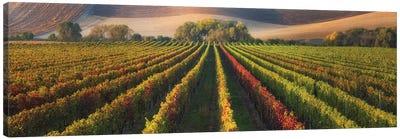 Vineyard In Autumn Canvas Art Print