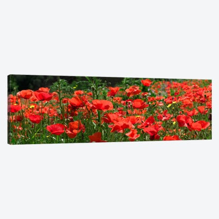 Red Poppy Field, Europe Canvas Print #ALB1} by Albert Lleal Canvas Artwork