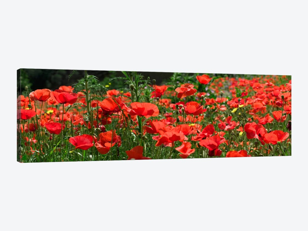 Red Poppy Field, Europe 1-piece Canvas Wall Art