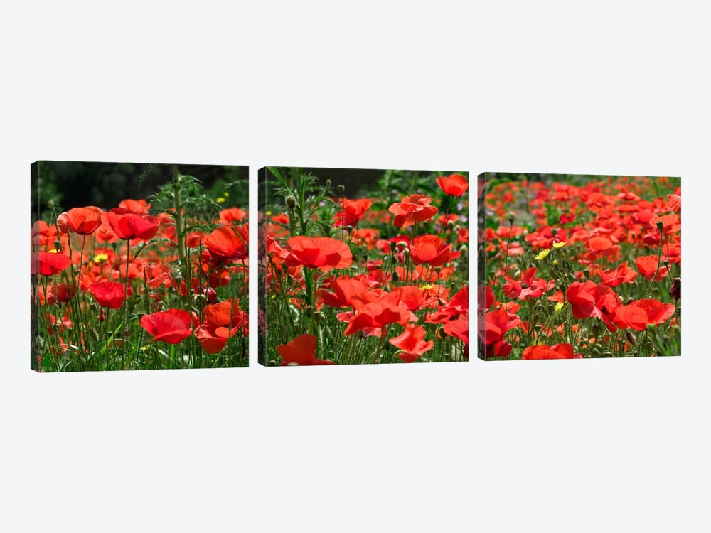 Red Poppy Field, Europe by Albert Lleal 3-piece Canvas Art