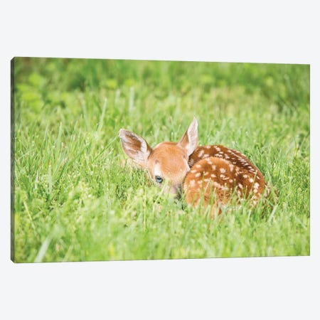 A Fawn Canvas Print #ALD31} by Aledanda Canvas Artwork