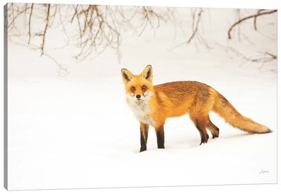 Red Fox IV Canvas Art Print