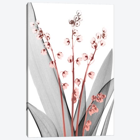 Lily Of The Blush II Canvas Print #ALK11} by Albert Koetsier Canvas Print