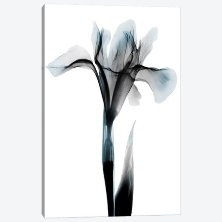 Ombre Sea Salt Iris Canvas Print #ALK160} by Albert Koetsier Canvas Print