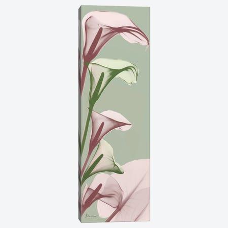 Spring Time Calla Lilies Canvas Print #ALK27} by Albert Koetsier Art Print