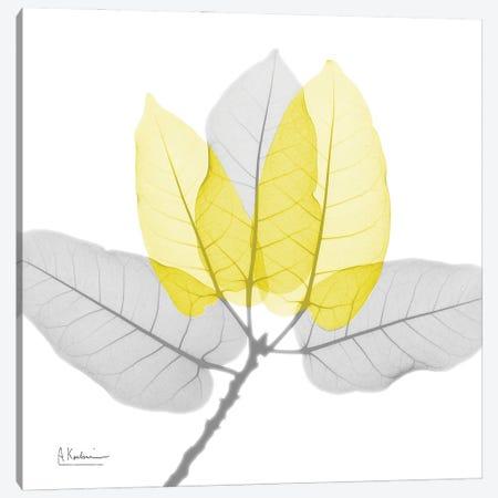 Ficus Burkey YG Canvas Print #ALK304} by Albert Koetsier Canvas Wall Art