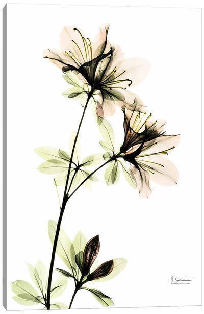 Azalea II Canvas Art Print
