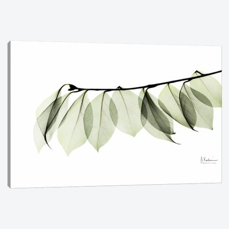 Camelia Leaf In White Canvas Print #ALK40} by Albert Koetsier Canvas Artwork