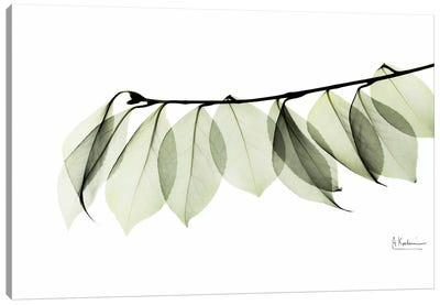 Camelia Leaf In White Canvas Art Print