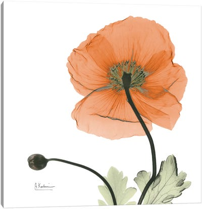 Iceland Poppy Orange Canvas Art Print