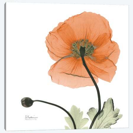 Iceland Poppy Orange 3-Piece Canvas #ALK54} by Albert Koetsier Canvas Wall Art