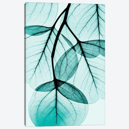 Teal Eucalyptus Canvas Print #ALK68} by Albert Koetsier Canvas Artwork