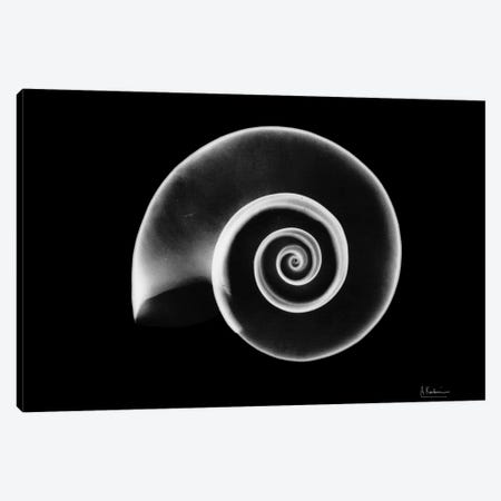 Ramshorn Snail Shell 3-Piece Canvas #ALK93} by Albert Koetsier Art Print