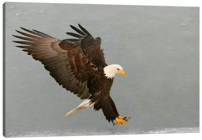 Bald Eagle Swooping In For A Catch, Homer, Alaska, USA Canvas Art Print