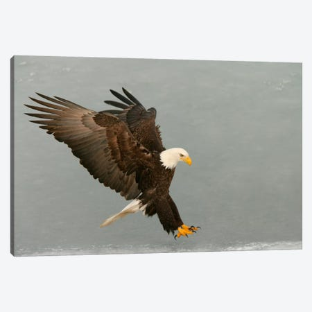 Bald Eagle Swooping In For A Catch, Homer, Alaska, USA Canvas Print #AMO2} by Arthur Morris Canvas Art