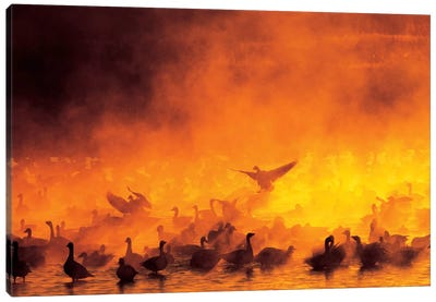 Snow Geese Flock Surrounded By Fog, Bosque del Apache National Wildlife Refuge, Socorro County, New Mexico, USA Canvas Art Print