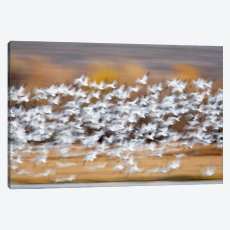Blurred Motion View Of A Snow Geese Flock In Flight, Bosque del Apache National Wildlife Refuge, New Mexico, USA Canvas Print #AMO4} by Arthur Morris Canvas Print