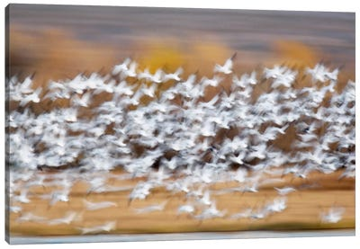 Blurred Motion View Of A Snow Geese Flock In Flight, Bosque del Apache National Wildlife Refuge, New Mexico, USA Canvas Art Print