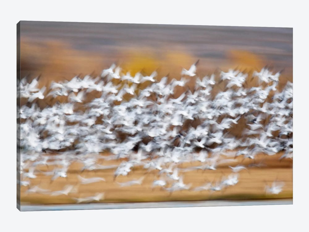 Blurred Motion View Of A Snow Geese Flock In Flight, Bosque del Apache National Wildlife Refuge, New Mexico, USA by Arthur Morris 1-piece Canvas Print