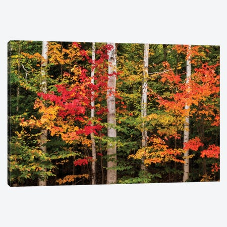 USA, New Hampshire, White Mountains, Maple and white birch Canvas Print #ANC18} by Ann Collins Canvas Art