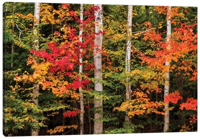 USA, New Hampshire, White Mountains, Maple and white birch Canvas Art Print