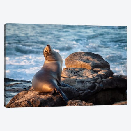 USA, California, La Jolla, Sea lion at La Jolla Cove Canvas Print #ANC2} by Ann Collins Art Print