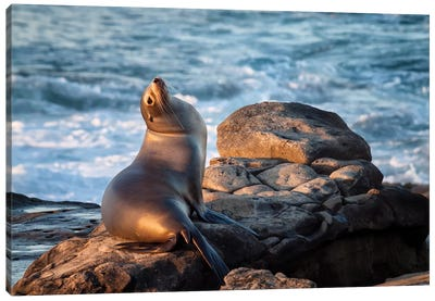 USA, California, La Jolla, Sea lion at La Jolla Cove Canvas Art Print