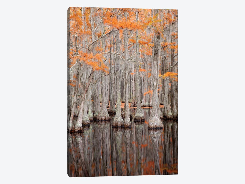 USA, George Smith State Park, Georgia. Fall cypress trees. by Joanne Wells 1-piece Canvas Artwork