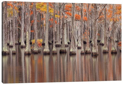 USA, Georgia. Cypress trees in the fall at George Smith State Park. Canvas Art Print