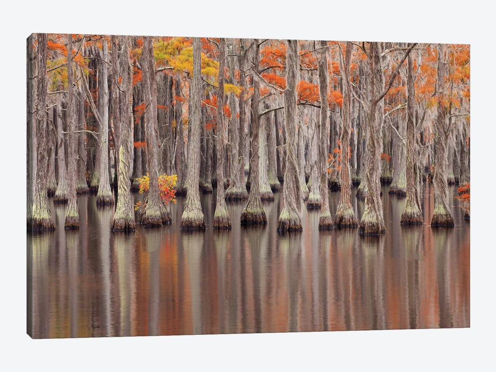 USA, Georgia. Cypress trees in the fall at George Smith State Park. by Joanne Wells 1-piece Canvas Print