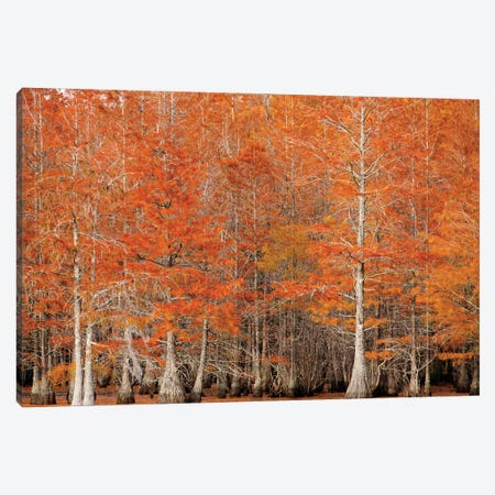 USA, Georgia. Cypress trees in the fall. Canvas Print #ANN13} by Joanne Wells Canvas Print