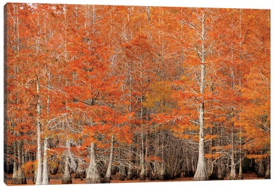 USA, Georgia. Cypress trees in the fall. Canvas Art Print
