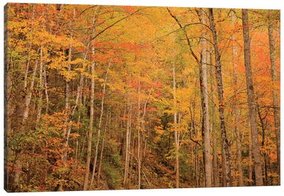 USA, Tennessee. Fall foliage along the Little River in the Smoky Mountains. Canvas Art Print