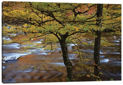 USA, Tennessee. Trees along the Little River in the Smoky Mountains. Canvas Art Print
