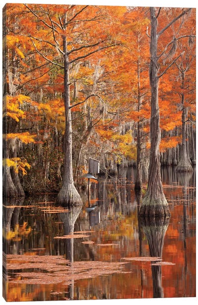 USA, George Smith State Park, Georgia. Fall cypress trees with wood duck box. Canvas Art Print