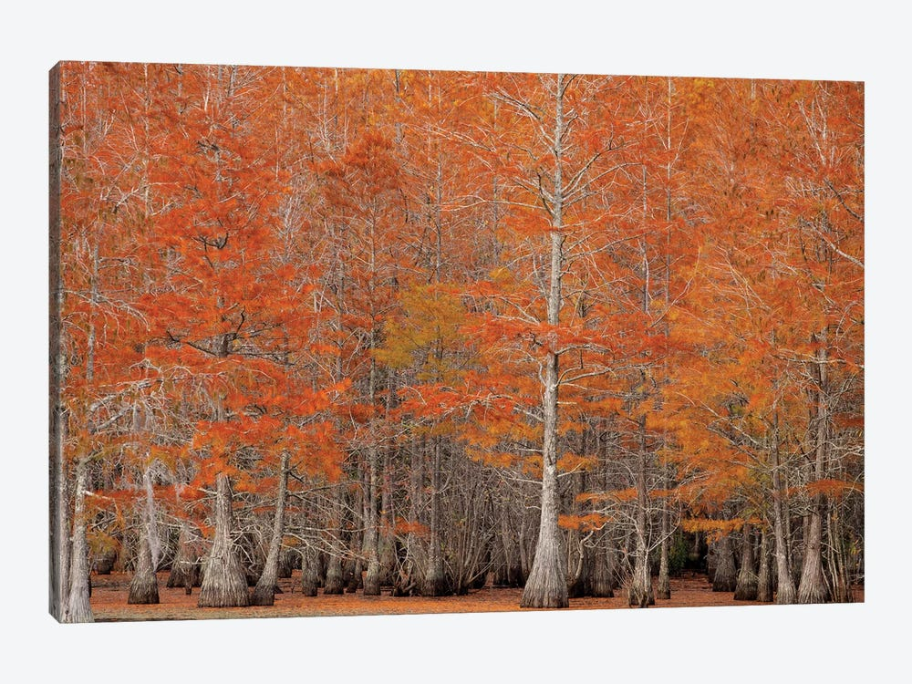 USA, George Smith State Park, Georgia. Fall cypress trees. by Joanne Wells 1-piece Canvas Art Print