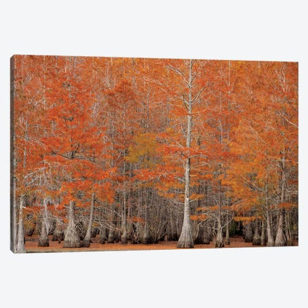 USA, George Smith State Park, Georgia. Fall cypress trees. Canvas Print #ANN9} by Joanne Wells Canvas Wall Art