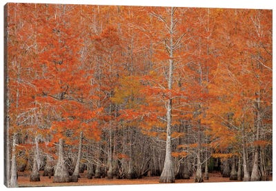 USA, George Smith State Park, Georgia. Fall cypress trees. Canvas Art Print