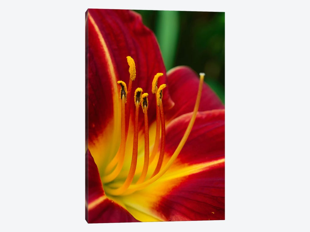 Flower Close Up Showing Pistil And Stamens, New Zealand by Andy Reisinger 1-piece Canvas Print