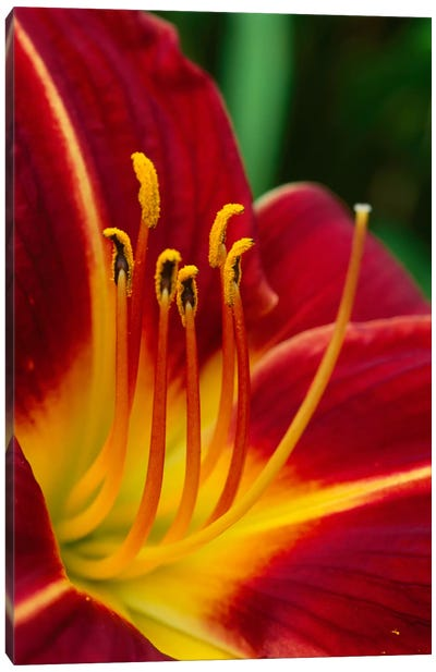 Flower Close Up Showing Pistil And Stamens, New Zealand Canvas Art Print