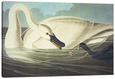 Trumpeter Swan II Canvas Art Print