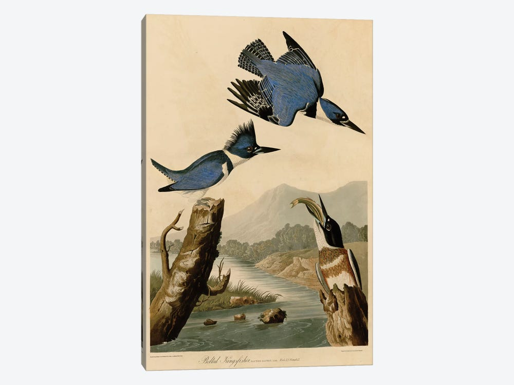 Belted Kingfisher by John James Audubon 1-piece Canvas Art Print