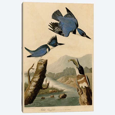 Belted Kingfisher Canvas Print #AUD1} by John James Audubon Canvas Print