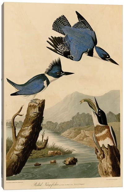Belted Kingfisher Canvas Art Print