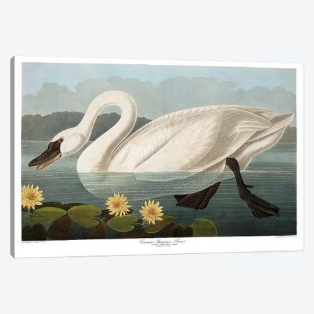 Common American Swan Canvas Print #AUD2} by John James Audubon Art Print