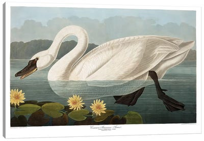 Common American Swan Canvas Art Print