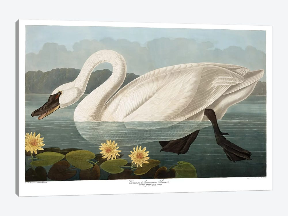 Common American Swan by John James Audubon 1-piece Canvas Artwork